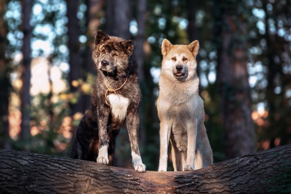 Tenno und Shiba